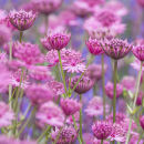 0175 Astrantias - not available for greeting cards