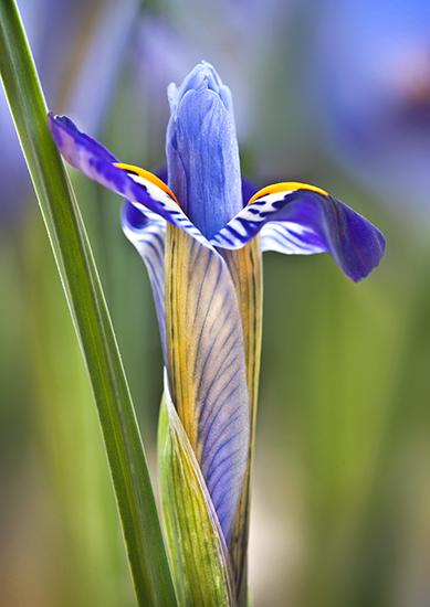 """Iris reticulata """"Purple Gem"""""""