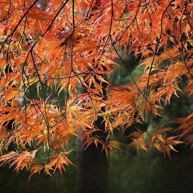 """0357 Acer palmatum """"Ornatum"""""""