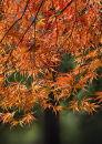 """0361 Acer palmatum """"Ornatum"""""""