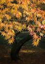 """0417 Acer palmatum """"Matsumarae"""""""