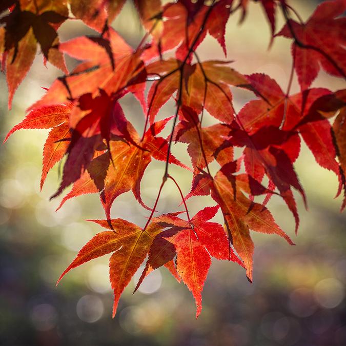 0469 Acer palmatum