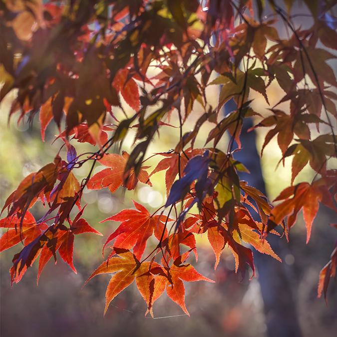 0512 Acer palmatum