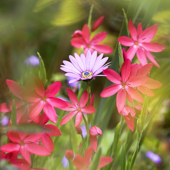 0521 Hesperantha coccinea and Osteospermum