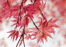 Acer palmatum Chishio