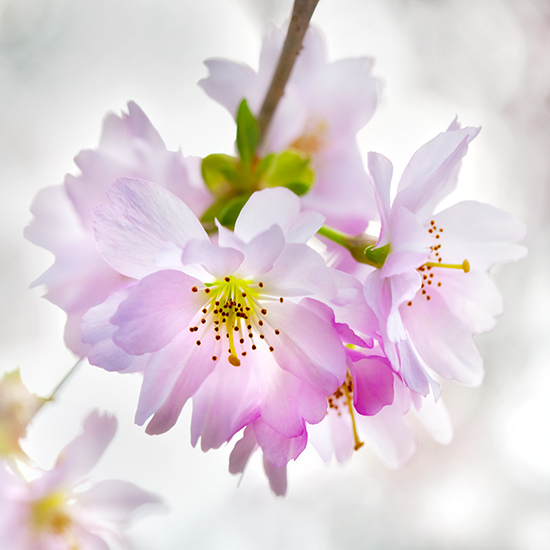 """Prunus sargentii """"Accolade"""""""