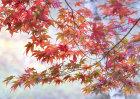 1012 Autumnal Acer Foliage