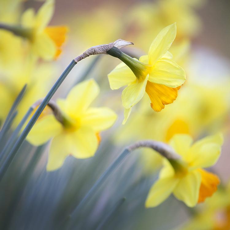 1147 Daffodils