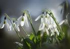 1245 Backlit Snowdrops