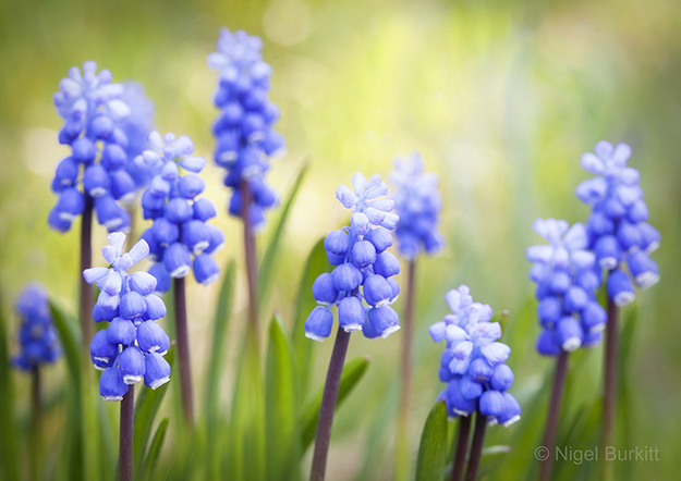 Muscari (exclusive to Getty Images)