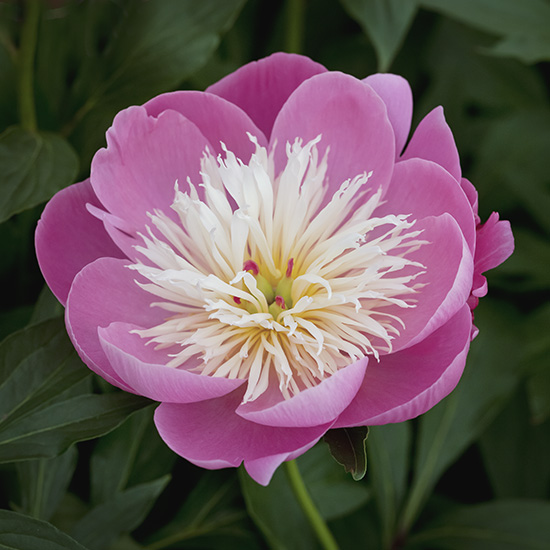 "Peony ""Bowl of Beauty"" (exclusive to Getty Images)"