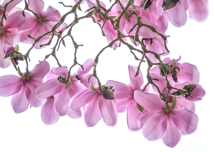 1619 Magnolia campbellii Charles Raffill
