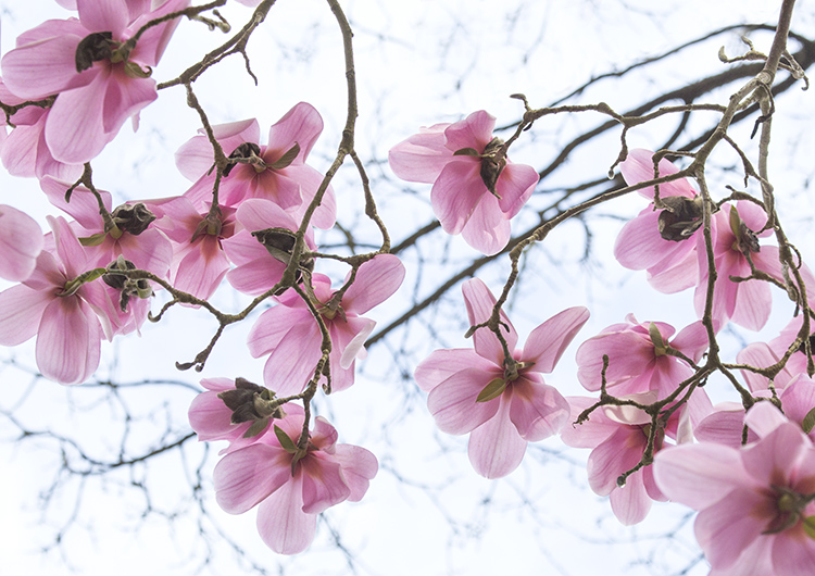 1639 Magnolia campbellii Charles Raffill