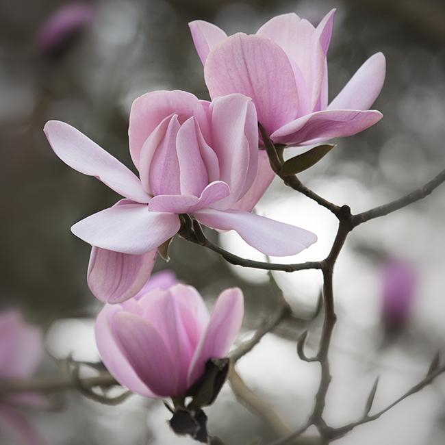 1691 Magnolia campbellii Charles Raffill