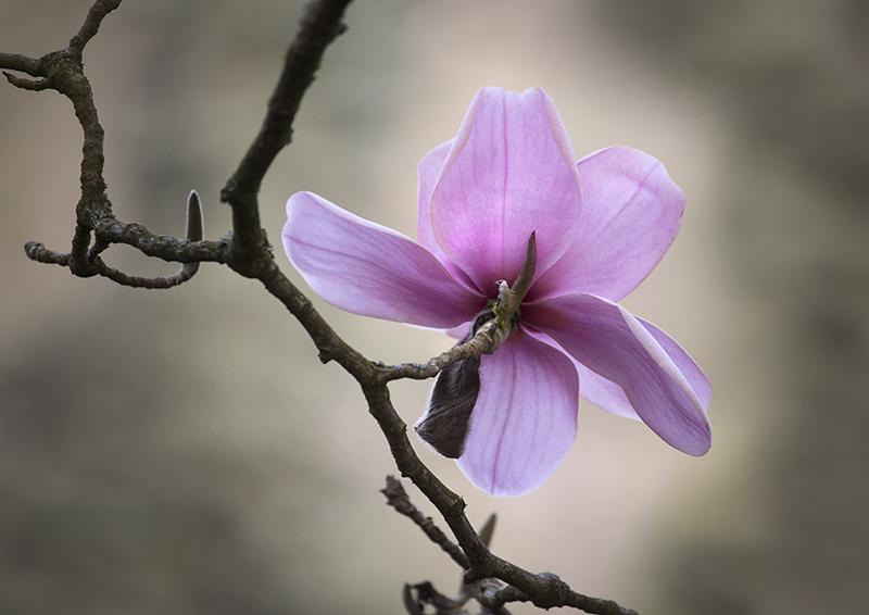 1717 Magnolia campbellii Charles Raffill