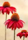 1733  Echinacea  Sombrero salsa red