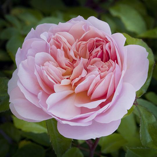 Rose Anne Boleyn