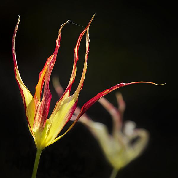 2109 Tulipa acuminata