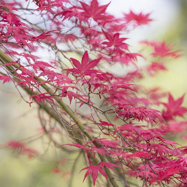2134 Acer palmatum chishio improved
