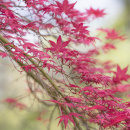 2134 Acer palmatum chishio improved
