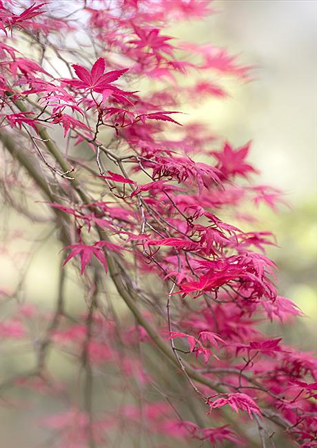 2135 Acer palmatum chishio improved
