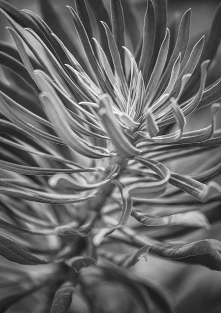 2181  Euphorbia