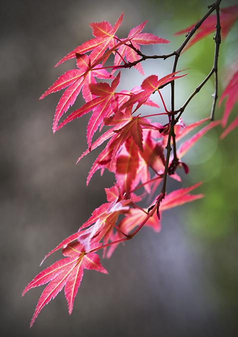 2270 Acer foliage