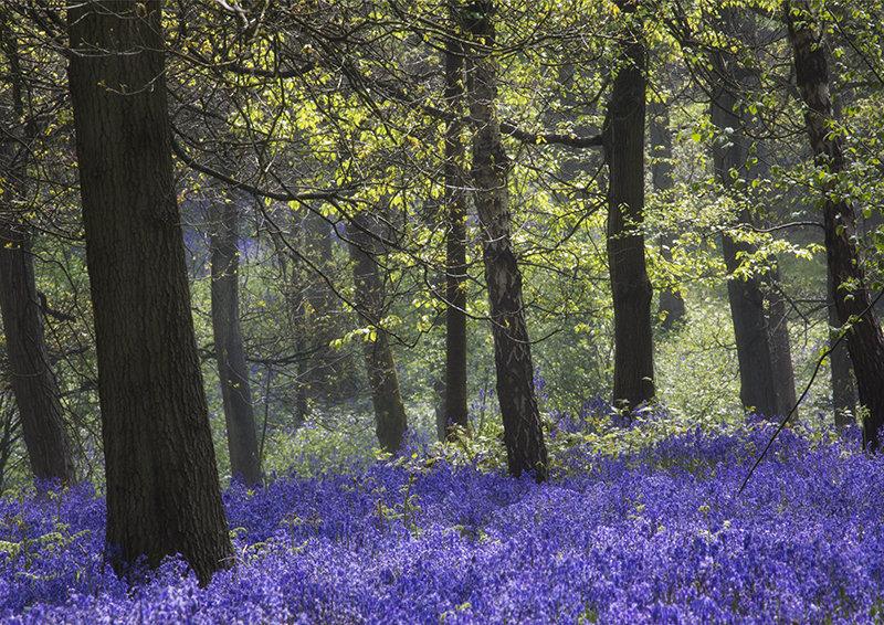 2688 Bluebell Woods