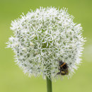 2841 White allium with bee