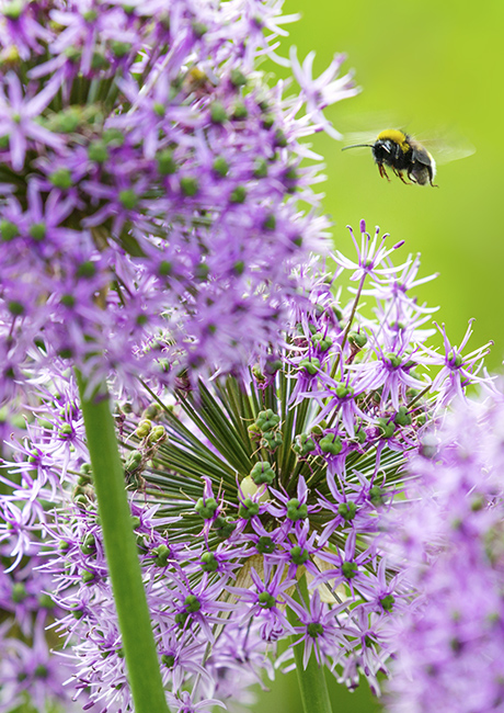 2966 Alliums with bee