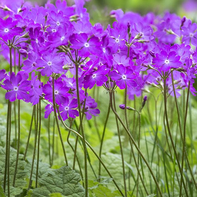 2975 Primula sieboldii cherubini