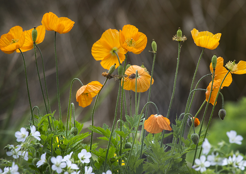 3073a Poppies