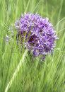 3133 Allium with grasses