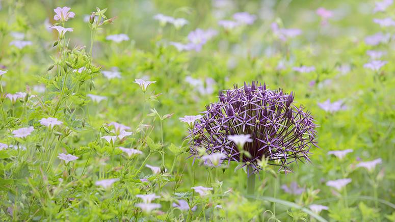 3159 Allium firmament