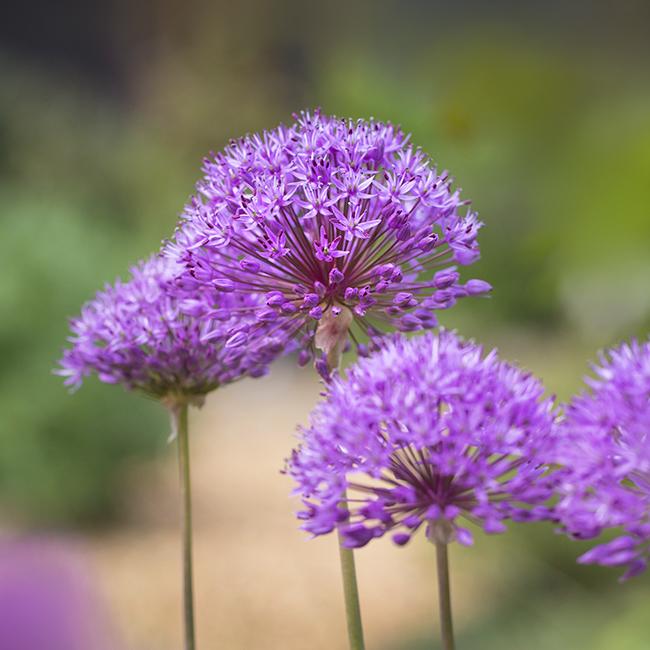 3184 Alliums