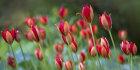 3358 Tulipa sprengeri