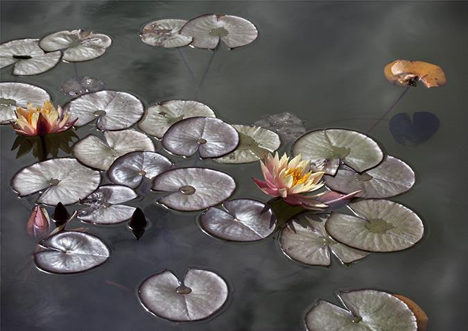 "Water Lily ""John Wedgwood"""