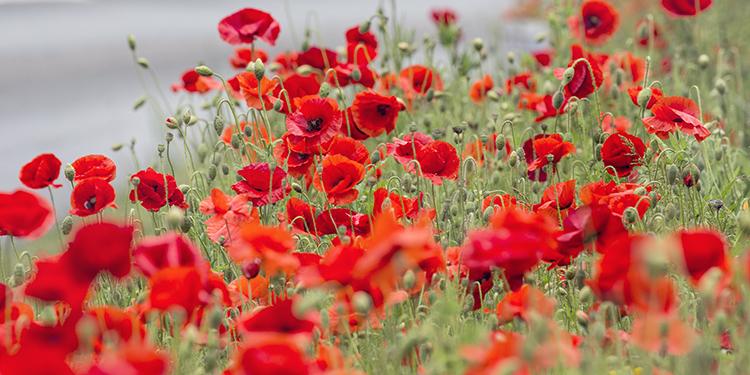 3382 Poppies