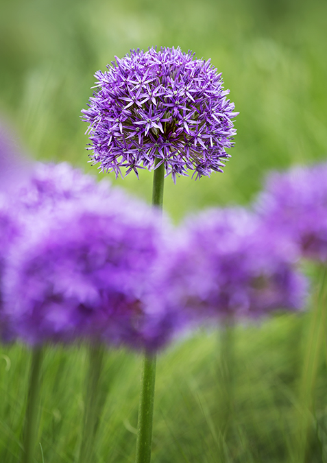3572 Allium Globemaster