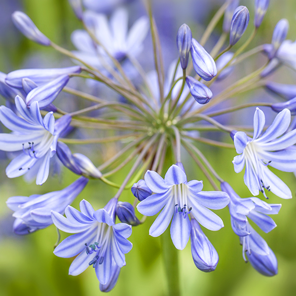 """Agapanthus """"Clarence House"""""""