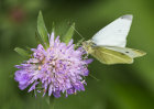 3650 Cabbage White on scabious