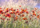 3771 Poppy field