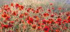3781 Poppy field