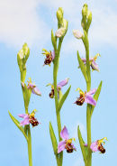 Bee Orchids (Ophrys apifera)