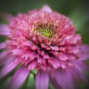 "Echinacea ""Cotton Candy"""