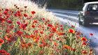 3747 Urban Roadside Poppies
