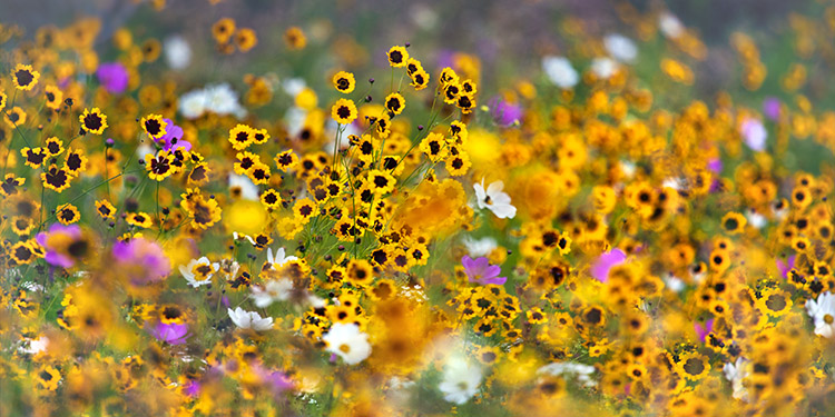 Windswept Flower Meadow (not available for greeting cards)