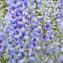 "4586 Delphinium ""Blue Dawn"""