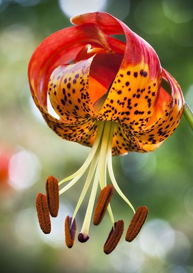 Lilium pardalinum giganteum