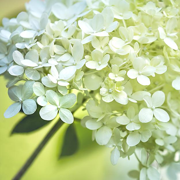 5124 Hydrangea paniculata limelight